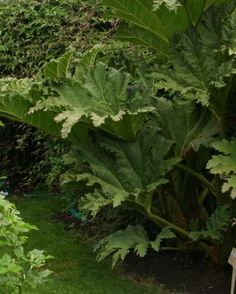 Big-leaved Perennials | Fine Gardening  Gunnera Manicata