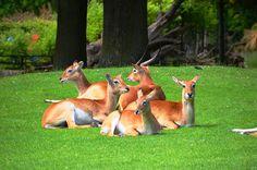 Antilopen, Litschi-Moorantilopen, Letschwe, Kobus Leche