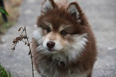 10 Dog Breeds That Look Like Wolves - Finnish Lapphund