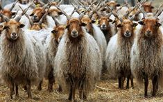 Racka, Hungarian breed sheep in Hortobágy National Park. Easy to recognize by its twisted horns. Farm Animals, Animals And Pets, Cute Animals, Alpacas, Beautiful Creatures, Animals Beautiful, Sheep Breeds, Counting Sheep, Sheep And Lamb