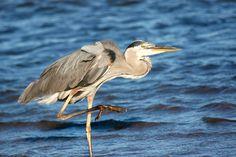 Great Blue Heron, Bay St. Louis, MS