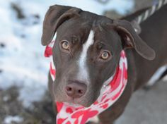 TO BE DESTROYED - 02/06/15 Brooklyn Center -P ~~ PUPPY ALERT!! ~~  My name is LULU. My Animal ID # is A1026501. I am a female brown and white pit bull mix. The shelter thinks I am about 9 MONTHS old.  I came in the shelter as a OWNER SUR on 01/28/2015 from NY 11208, owner surrender reason stated was ALLERGIES.