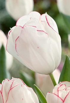 Tulip Bulbs - Diamond Jubilee