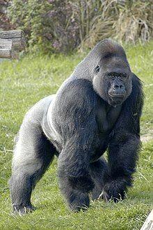 Gorilla - Wikipedia