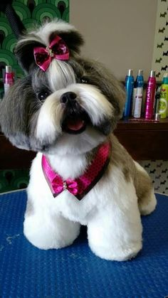 best picture ideas about shih tzu puppies - oldest dog breeds Shih Tzu Hund, Perro Shih Tzu, Shih Tzu Puppy, Shih Tzus, Yorkie, Dog Grooming Styles, Pet Grooming, Sweet Dogs, Dog Haircuts