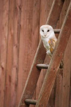 Barn owl (Tyto alba) perched on ladder, Norfolk, UK Owl Pictures, Owl Pics, Beautiful Birds, Animals Beautiful, Tyto Alba, Owl Box, Wise Owl, Vintage Trucks, Birds Of Prey
