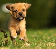 Pug & Beagle Puggle
