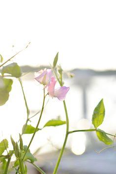 Luktärt 'Anniversary'  I  Zetas Trädgård