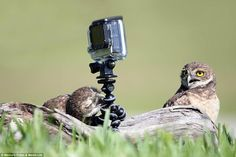 Tiny owls stage their own filming session with a GoPro   http://www.dailymail.co.uk/news/article-2924054/Hoot-camera-Tiny-owls-stage-filming-session-play-GoPro-grass.html
