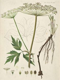 Queen Annes Lace Giant Hogweed Painting Fine Art Print