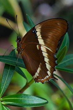 """""""Brown Beauty"""" ~ Photography by Janet Little Jeffers Butterfly Photos, Butterfly Kisses, Butterfly Flowers, Beautiful Butterflies, Flying Flowers, Moth Caterpillar, Flying Insects, Chenille, Green And Brown"""