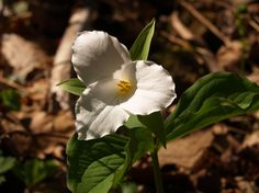 The large white trillium is Ohio's official wildflower and is abundant in Vinton County. Check out our wildflowers during Lake Hope's annual Wildflower Walk.