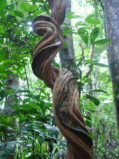 Curved tree or woody vine