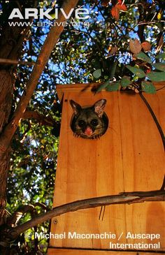 Common brushtail possum looking out of artificial nest box in suburban garden