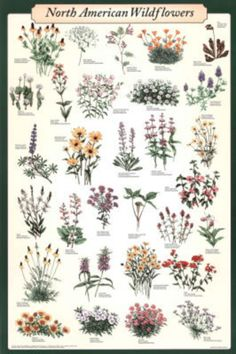 North American Wildflowers Educational Science Chart Poster Poster $9.99