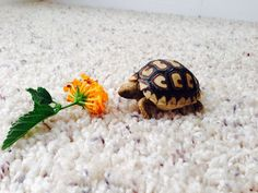 How to Care for a Leopard Tortoise: 8 Steps (with Pictures)