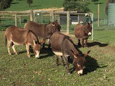 Courtesy: Amelia Rise Donkeys. Yea, Victoria (Australia).