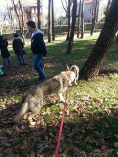 #czechoslovakianwolfdog #wolves #wolfdog #wolfdogturkiye #gurcandoganer #lupocecoslovacco #photo #pet