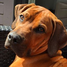 Boxer Mix Puppies, Dogs And Puppies, Funny Dogs, Cute Dogs, Rhodesian Ridgeback Puppies, Animals And Pets, Cute Animals, Dog Best Friend, Lion Dog