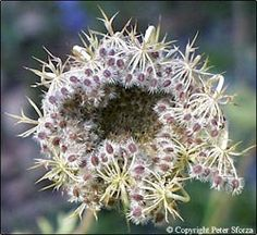 Queen Anne's lace/ wild carrot seeds