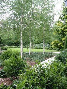 Silver Birch with Ajuga planted under them as ground cover. Arthur Lathouris Landscape and Garden Designer/Wentworth Falls Garden