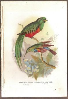 Beautiful Trogon And Sun Bird Print 1872 H/C Litho