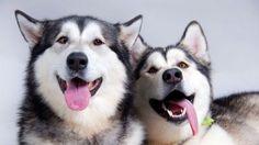 dogs, husky, couple
