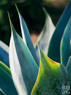 Agave attenuata is a common landscape plant in warm, dry climates. This agave develops thick trunks topped with spike-free gray-green leaves. It grows 3-6 feet tall and wide. Zones 9-11