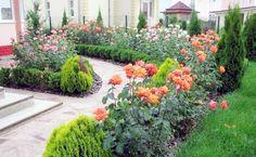 1. Udarea trandafirilor vara in Iunie-Iulie-AugustDaca nu ploua se administreaza 10 litri de apa la fiecare trandafir o data pe saptamana. Aceasta cantitate este necesara pentru ca apa sa ajunga la jumatate de metru in pamant, acolo unde...