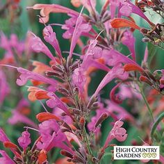 Agastache Acapulco Salmon and Pink, Acapulco Salmon and Pink Hummingbird Mint