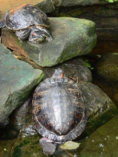Turtles...Red eared Terrapins or Sliders