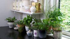 Od té doby, co jsem vyzkoušel tuto metodu, jsem byl schopen zakořenit jakoukoli rostlinu, od té doby mám spoustu úžasných rostlin! – Domaci Tipy Indoor Garden, Indoor Plants, Container Gardening, Gardening Tips, Easy Herbs To Grow, Ard Buffet, Kitchen Plants, Kitchen Decor, Types Of Herbs