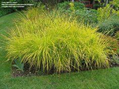 Bowles Golden Sedge 'Aurea' -  Hands down one of my favorite grasses!