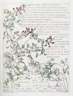 1910 Botanical Print by H. Isabel Adams: Fumitory Family, Common Fumitory
