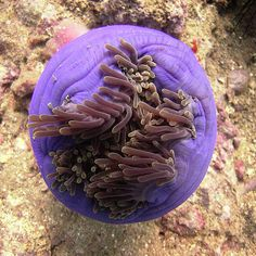 Closed up sea anemone from the top on Anemone Reef, Phuket, Thailand