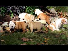 English Bulldog Puppies For Sale