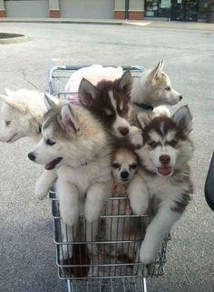 Ce charriot de courses rempli de chiots husky (avec un Chihuahua en bonus). | 31 photos de bébés animaux pour vous rappeler que le monde est merveilleux