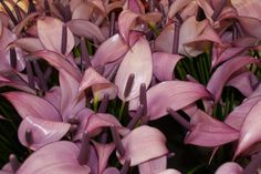 Lavender Lady Anthurium