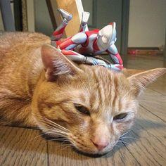 「ねぇ、聞いて聞いて!」「うるさいニャ」 #猫 #茶トラ #cat