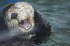Sea otter sings in the bath - That face is precious