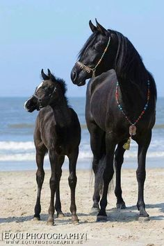Black mare with foal on the beach.