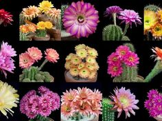 Overnight Blooming Cactus! Flowers only last 1 day, check this out!! Thank you World of Flowering Plants  Google+