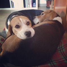 Uno, the Beagle, the b...