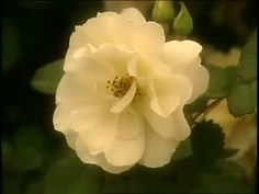 The Antique Rose Emporium Rescues Old Roses Videos | Tv How to's and ideas | Martha Stewart