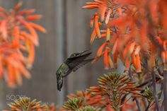 Anna's hummingbird feeds from aloe Hummingbird Photos, Aloe, Perennials, Humming Birds, Netherlands, The Nederlands, The Netherlands, Holland, Perennial