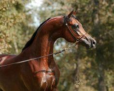 MARWAN AL SHAQAB (Gazal Al Shaqab x Little Liza Fame)  Sire of RD Marjaan 2005 colt, Ali Ghazaan, and Goddess of Marwan