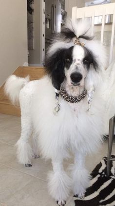 Samoyed Dogs, Pet Dogs, Dogs And Puppies, Dog Grooming Tips, Poodle Grooming, Standard Poodles For Sale, Poodle Haircut Styles, Poodle Cuts, Pet Sitting