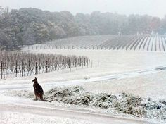 MEANWHILE IN AUSTRALIA ... It is winter down under, but still: record snow. Bill Shrapnel photographed a kangaroo in the vineyards around New South Wales.