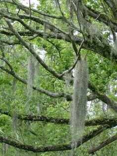 Spanish moss seen in the Louisiana Bayou.