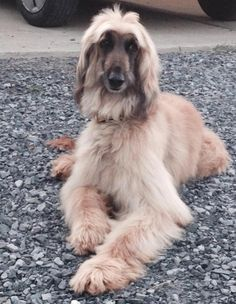 Meet Alf, a Petfinder adoptable Afghan Hound Dog | West Milford , NJ | www.TheLastResortRescue.com PLEASE NOTE: IF YOU ARE INTERESTED IN ADOPTING THIS PET THE FIRST STEP...